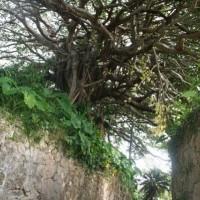 石垣群とガジュマル