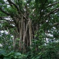 ガジュマル巨木